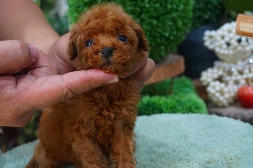 トイプードルの子犬(ID:1231011381)の3枚目の写真/更新日:2018-07-04