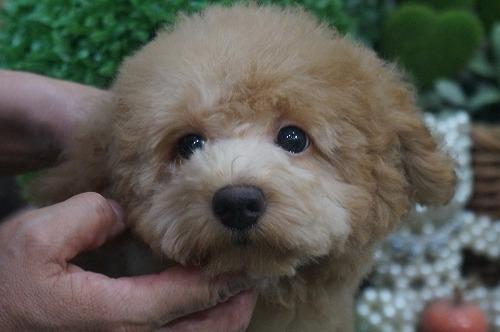 トイプードルの子犬(ID:1231011382)の1枚目の写真/更新日:2018-07-31