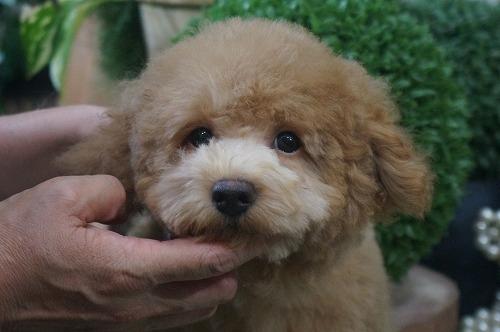トイプードルの子犬(ID:1231011382)の2枚目の写真/更新日:2018-07-31