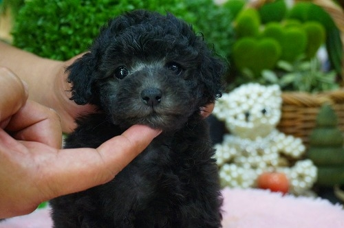 トイプードルの子犬(ID:1231011383)の1枚目の写真/更新日:2018-07-14