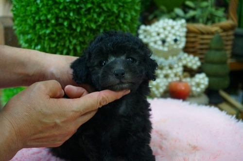 トイプードルの子犬(ID:1231011383)の2枚目の写真/更新日:2018-07-14