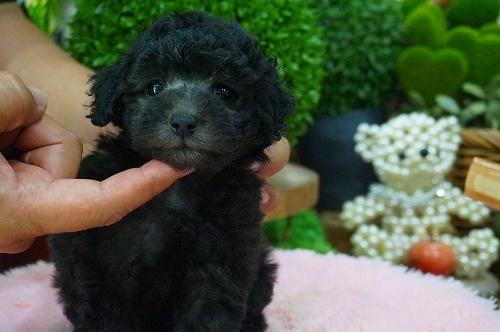 トイプードルの子犬(ID:1231011383)の3枚目の写真/更新日:2018-07-14