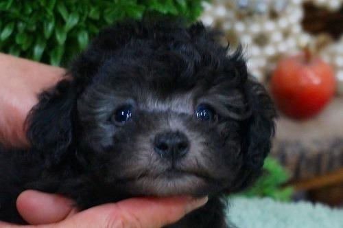 トイプードルの子犬(ID:1231011384)の1枚目の写真/更新日:2018-07-14