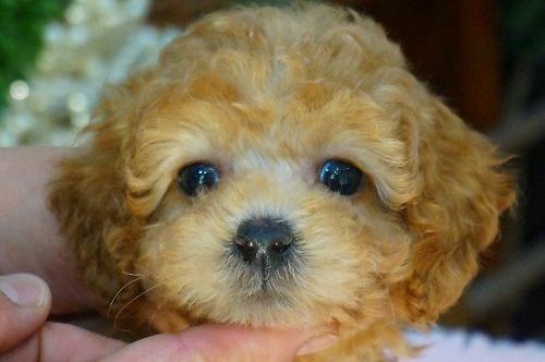 トイプードルの子犬(ID:1231011385)の1枚目の写真/更新日:2018-07-17