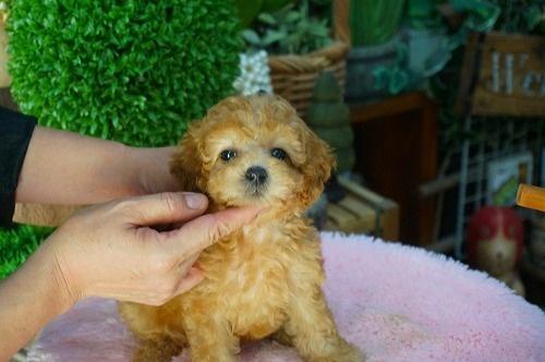 トイプードルの子犬(ID:1231011385)の3枚目の写真/更新日:2018-07-17