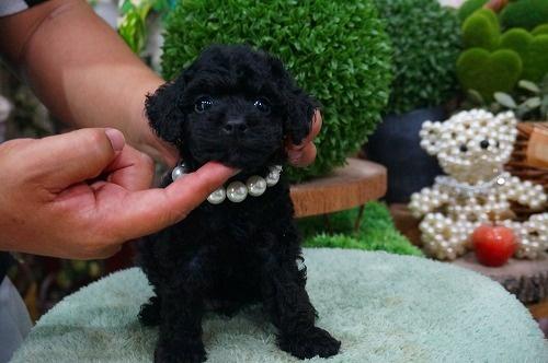 トイプードルの子犬(ID:1231011386)の3枚目の写真/更新日:2018-07-22