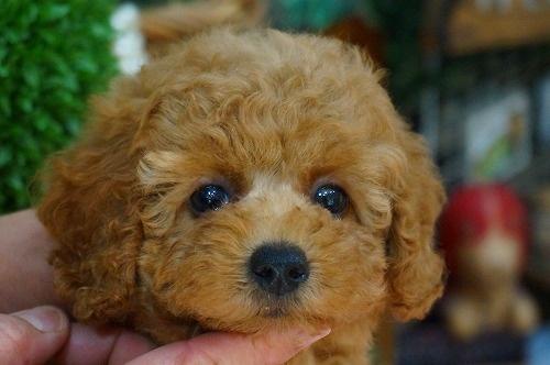 トイプードルの子犬(ID:1231011387)の1枚目の写真/更新日:2018-07-25
