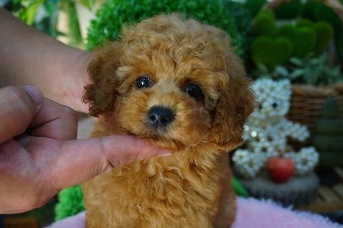 トイプードルの子犬(ID:1231011387)の2枚目の写真/更新日:2018-07-25