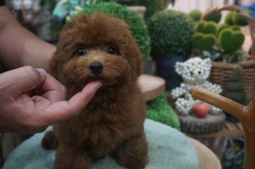 トイプードルの子犬(ID:1231011389)の3枚目の写真/更新日:2018-08-02