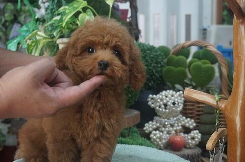 トイプードルの子犬(ID:1231011390)の2枚目の写真/更新日:2018-08-02