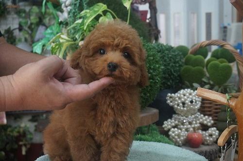 トイプードルの子犬(ID:1231011390)の3枚目の写真/更新日:2018-08-02
