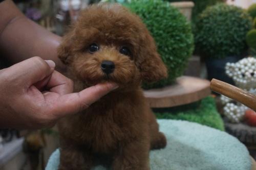 トイプードルの子犬(ID:1231011391)の1枚目の写真/更新日:2018-08-02