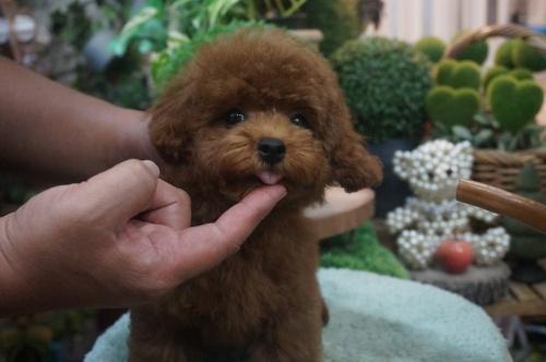 トイプードルの子犬(ID:1231011391)の2枚目の写真/更新日:2018-08-02