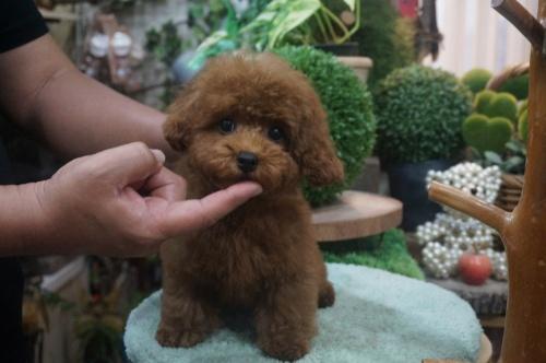 トイプードルの子犬(ID:1231011391)の3枚目の写真/更新日:2018-08-02
