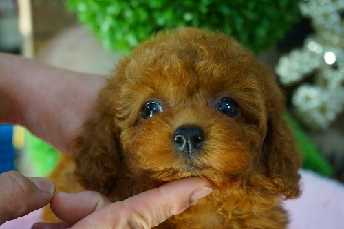 トイプードルの子犬(ID:1231011392)の1枚目の写真/更新日:2018-08-02