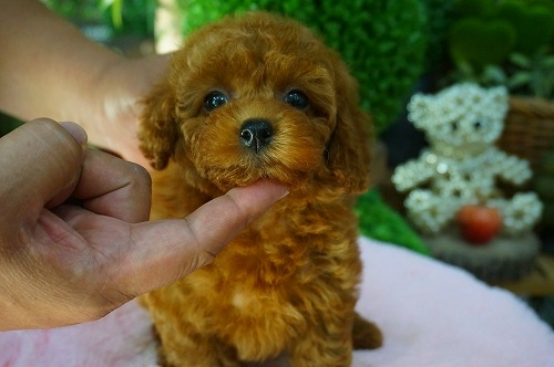 トイプードルの子犬(ID:1231011392)の2枚目の写真/更新日:2018-08-02