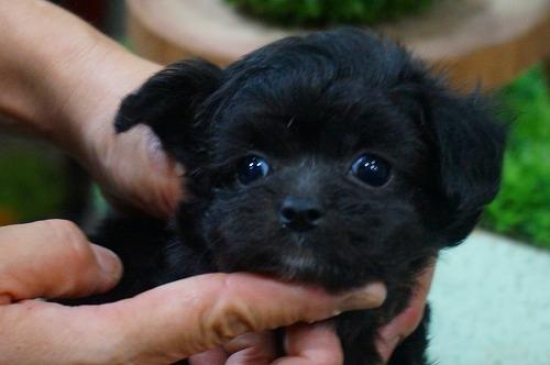 ミックスの子犬(ID:1231011393)の1枚目の写真/更新日:2018-08-07
