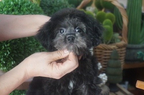 ミックスの子犬(ID:1231011394)の3枚目の写真/更新日:2018-08-07