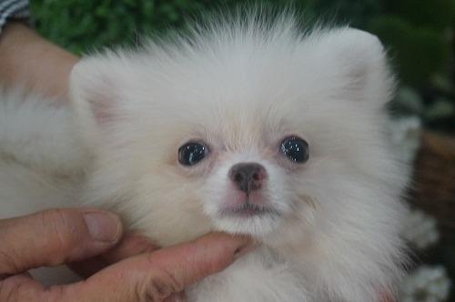 ポメラニアンの子犬(ID:1231011395)の1枚目の写真/更新日:2018-08-07