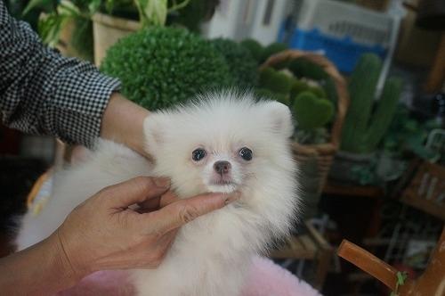 ポメラニアンの子犬(ID:1231011395)の2枚目の写真/更新日:2018-08-07