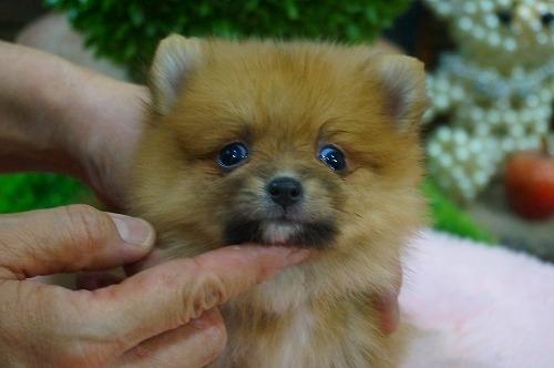 ポメラニアンの子犬(ID:1231011396)の1枚目の写真/更新日:2018-08-08