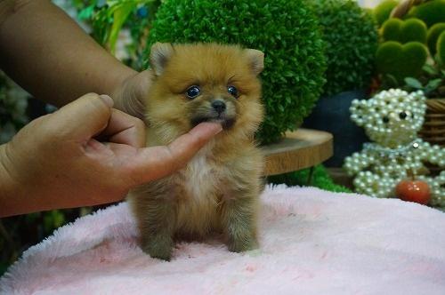 ポメラニアンの子犬(ID:1231011396)の3枚目の写真/更新日:2018-08-08