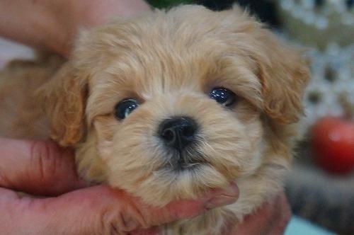 ミックスの子犬(ID:1231011397)の1枚目の写真/更新日:2018-08-08