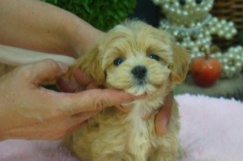 ミックスの子犬(ID:1231011398)の2枚目の写真/更新日:2018-08-08