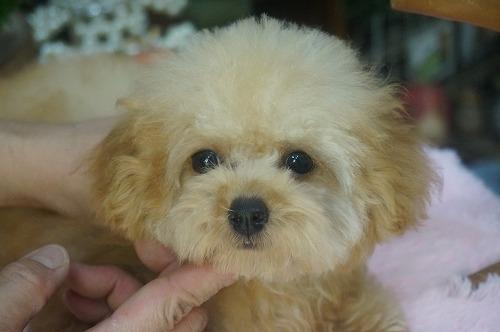 トイプードルの子犬(ID:1231011405)の1枚目の写真/更新日:2018-10-16