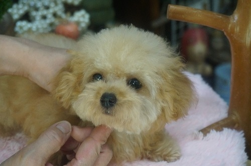 トイプードルの子犬(ID:1231011405)の2枚目の写真/更新日:2018-10-16