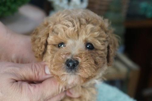 トイプードルの子犬(ID:1231011414)の1枚目の写真/更新日:2018-09-19