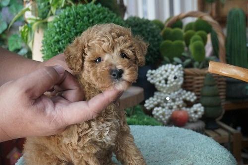 トイプードルの子犬(ID:1231011414)の2枚目の写真/更新日:2018-09-19
