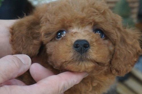 トイプードルの子犬(ID:1231011418)の1枚目の写真/更新日:2018-10-16