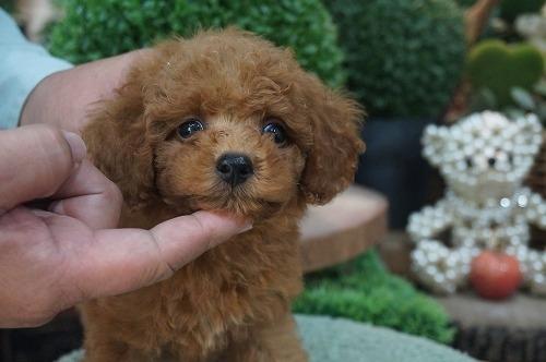 トイプードルの子犬(ID:1231011418)の2枚目の写真/更新日:2018-10-16