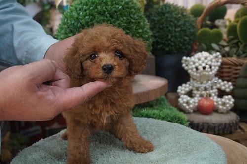 トイプードルの子犬(ID:1231011418)の3枚目の写真/更新日:2018-10-16