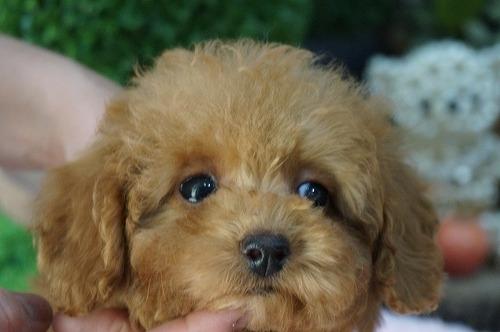 トイプードルの子犬(ID:1231011419)の2枚目の写真/更新日:2018-10-17