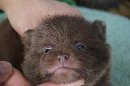 ポメラニアンの子犬(ID:1231011439)の1枚目の写真/更新日:2019-02-26