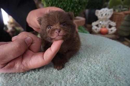 ポメラニアンの子犬(ID:1231011439)の3枚目の写真/更新日:2019-02-26