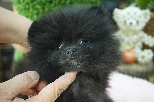 ポメラニアンの子犬(ID:1231011440)の1枚目の写真/更新日:2019-04-03