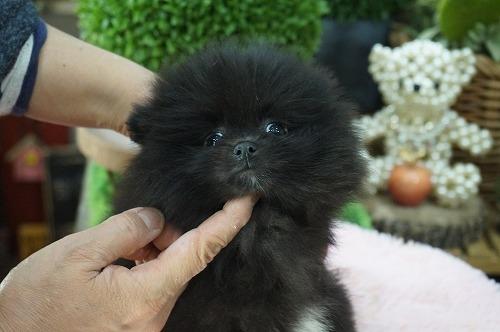 ポメラニアンの子犬(ID:1231011440)の2枚目の写真/更新日:2019-04-03