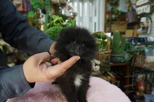 ポメラニアンの子犬(ID:1231011440)の3枚目の写真/更新日:2019-04-03