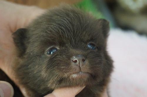 ポメラニアンの子犬(ID:1231011441)の1枚目の写真/更新日:2019-02-26