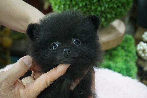 ポメラニアンの子犬(ID:1231011444)の1枚目の写真/更新日:2019-04-03