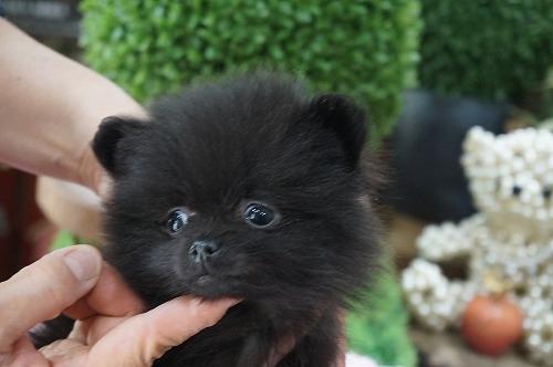 ポメラニアンの子犬(ID:1231011444)の2枚目の写真/更新日:2019-04-03