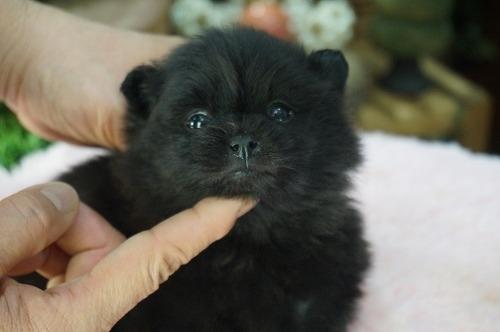 ポメラニアンの子犬(ID:1231011445)の1枚目の写真/更新日:2019-03-09