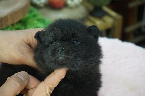 ポメラニアンの子犬(ID:1231011445)の2枚目の写真/更新日:2019-03-09