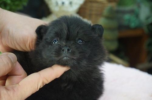 ポメラニアンの子犬(ID:1231011445)の3枚目の写真/更新日:2019-03-09