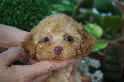 トイプードルの子犬(ID:1231011476)の1枚目の写真/更新日:2019-09-03