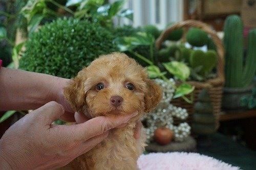 トイプードルの子犬(ID:1231011476)の2枚目の写真/更新日:2019-09-03