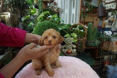トイプードルの子犬(ID:1231011476)の3枚目の写真/更新日:2019-09-03